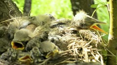 Nestlings Stock Footage