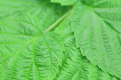 Background of green leaves of raspberry Stock Photos
