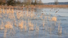 Reed (Phragmites australis) on a flooded and frozen polder meadow, Unteres Stock Footage