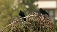 Stock Video Footage of Black Crows On Tree