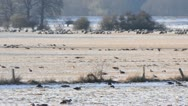 Stock Video Footage of Greylag geese (Anser anser) and domestic sheeps (Ovis orientalis aries),