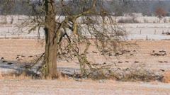 Greylag geese (Anser anser), Flusslandschaft Elbe Biosphere Reserve, Germany Stock Footage