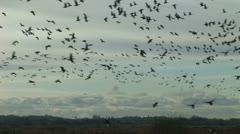 Stock Video Footage of Large flock of geese landing