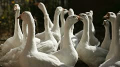 Flock of geese in village Stock Footage