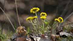 Coltsfoot (Tussilago farfara) Stock Footage