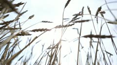 Through the wheat ears and a ray of sunshine Stock Footage
