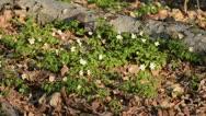 Wood anemone (Anemone nemorosa) Stock Footage