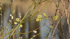 Pussy willow (Salix caprea) with male flowers - stock footage