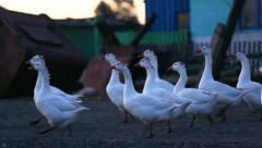 Geese crossing the road in the village Stock Footage