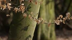 Common hornbeam (Carpinus betulus) Stock Footage