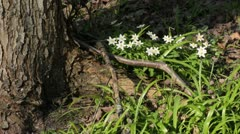 Wood anemone (Anemone nemorosa) and few flowered leek (Allium paradoxum) Stock Footage