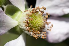 Blackberry blossom Stock Photos