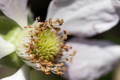 Blackberry blossom Stock Photos