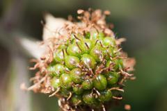 Unripe blackberry - stock photo