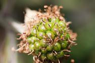 Unripe blackberry Stock Photos