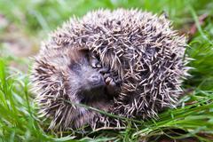 Scaring hedgehog - stock photo