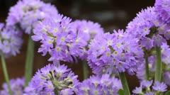 Drumstick primrose (Primula denticulata) Stock Footage