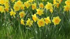 Daffodils (Narcissus) - stock footage