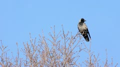 Hooded crow (Corvus corone cornix) sitting on a bare tree and flying away Stock Footage