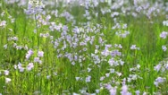 Stock Video Footage of Cuckoo flower (Cardamine pratensis)