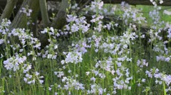 Cuckoo flower (Cardamine pratensis) Stock Footage