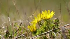 Spring adonis (Adonis vernalis) - stock footage