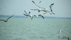 Seagulls catching fish in the sea - stock footage