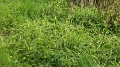 Few flowered leek (Allium paradoxum) - stock footage