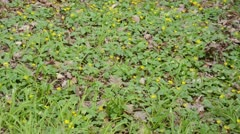 Celandine (Ficaria verna syn. Ranunculus ficaria) and few flowered leek (Allium Stock Footage