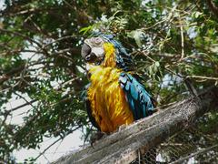 Parrot. Blue-and-yellow Macaw - Ara ararauna Stock Photos