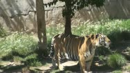 Tiger in a zoo Stock Footage