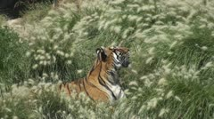 Tiger siesta - stock footage