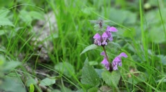 Spotted dead nettle (Lamium maculatum) Stock Footage
