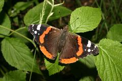 Red admiral (vanessa atalanta) Stock Photos