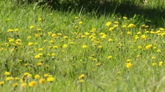 Dandelion (Taraxacum officinale) Stock Footage