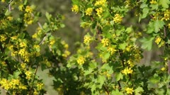 Stock Video Footage of Golden currant (Ribes aureum)