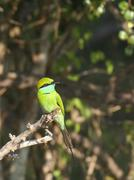 little green beeater on branch - stock photo