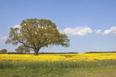 Stock Photo of springtime oak tree