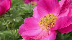 Common peony (Paeonia officinalis) - stock footage