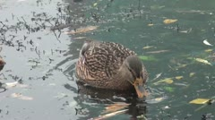 Close-up: Duck feeds on algae pond collects yellow beak Stock Footage