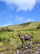 Rare and endangered nilgiri tahr Stock Photos