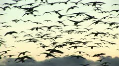 Flock of geese in the morning sky-sound included Stock Footage