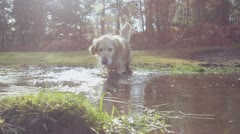 Golden retriever dog running through a muddy puddle within a forest Stock Footage