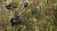 Stock Video Footage of Black Crows On Eucalyptus Tree Feeding