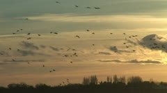 Evening light and geese flying Stock Footage