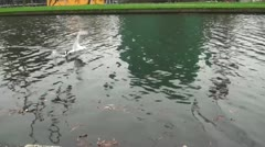 Duck swims while trying to find something to eat in the water Stock Footage