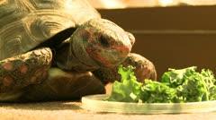 Turtle Eating Lettuce-1 - stock footage
