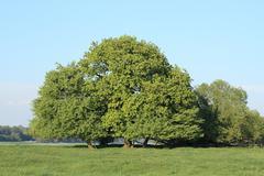 oak - stock photo