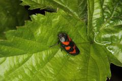 Treehopper (cercopis vulnerata) Stock Photos