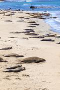Stock Photo of sealions relax and sleep at the sandy beach